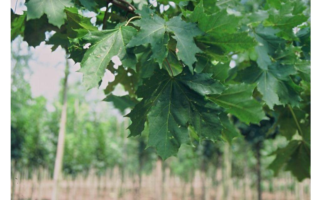 Noorse esdoorn - Acer platanoidus