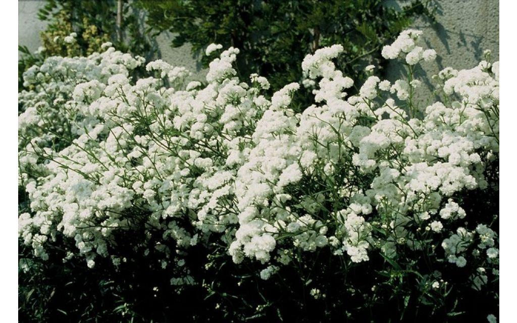 Duizendblad - Achillea ptarmica The Pearl