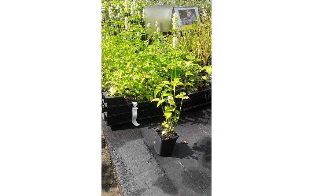 dropplant - Agastache rugosa Alabaster