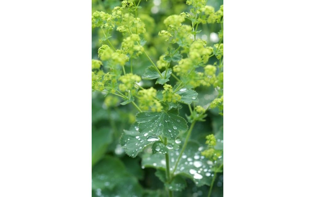 Vrouwenmantel - Alchemilla vulgaris