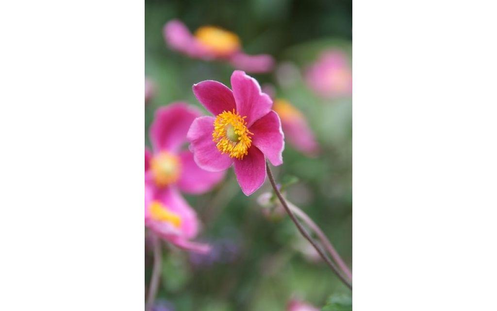 Herfstanemoon - Anemone hyb. Hadspen Abundance