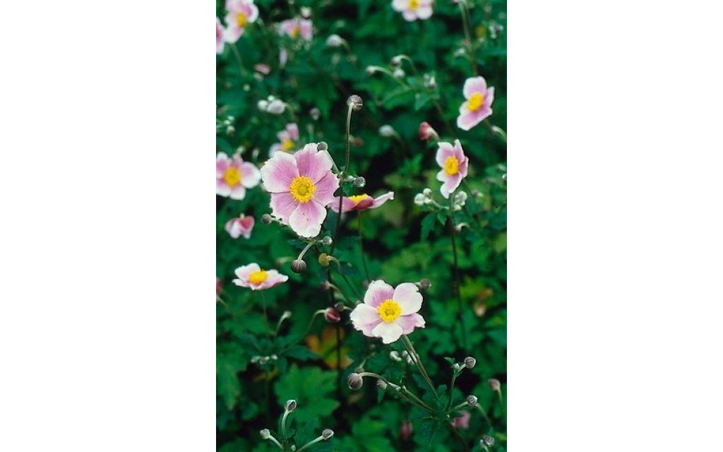 Anemoon - Anemone tomentosa Robustissima