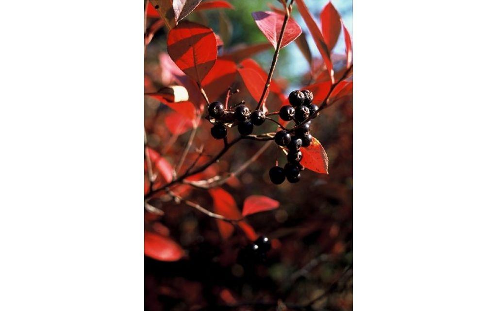 Appelbes - Aronia prunifolia Viking