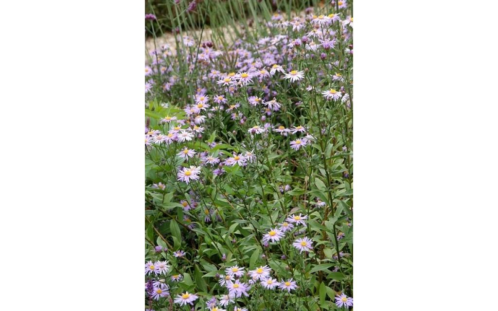 Aster - Aster ageratoides Asmo