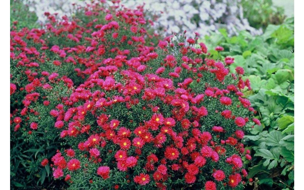 Aster - Aster n.-b. Crimson Brocade