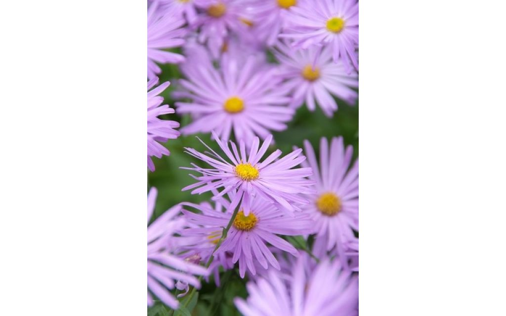 Aster - Aster frikartii Monch