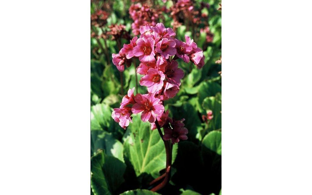 Schoenlappersplant - Bergenia morgenrote