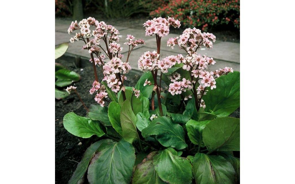 Schoenlappersplant - Bergenia Silberlight
