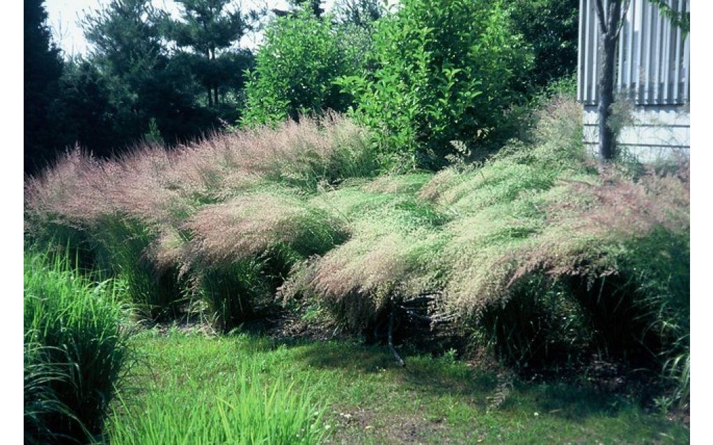calamagrostis acut overdam