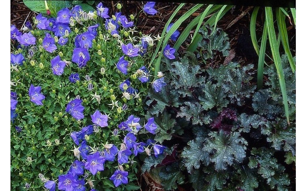 Klokjesbloem - Campanula carpatica Blaue Clips