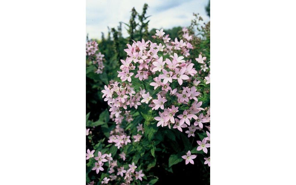 Klokjesbloem - Campanula lactiflora Loddon Anna