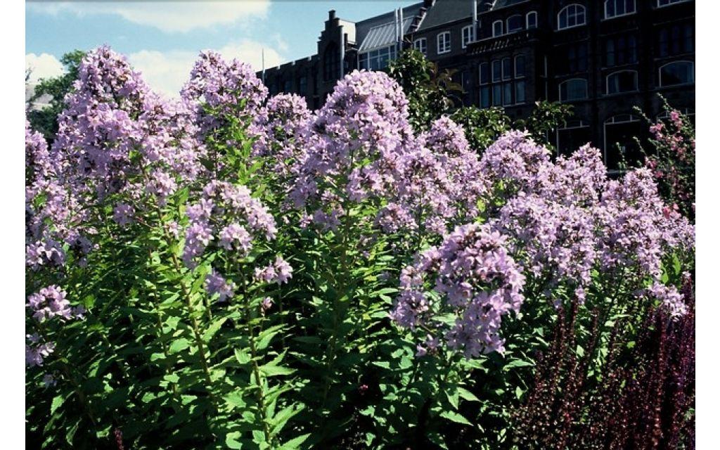 Klokjesbloem - Campanula lactiflora Prichards Variety