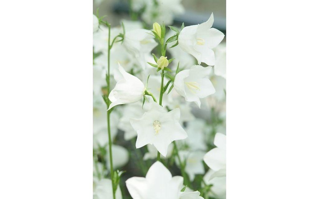 Klokje - Campanula lactiflora White Pouffe
