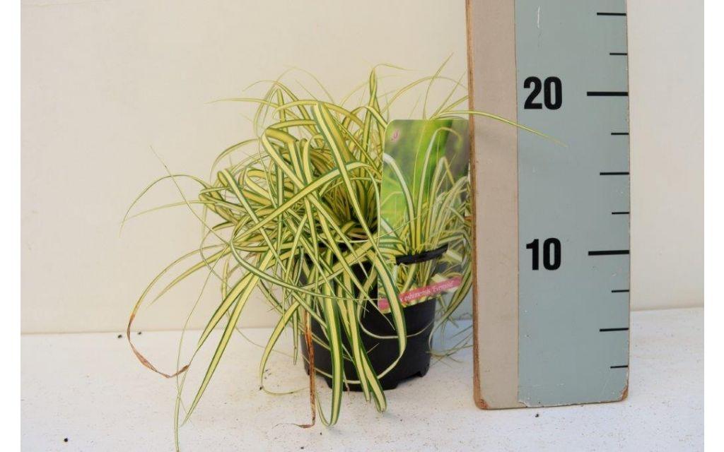 Zegge - Carex oshimensis 'Evergold'