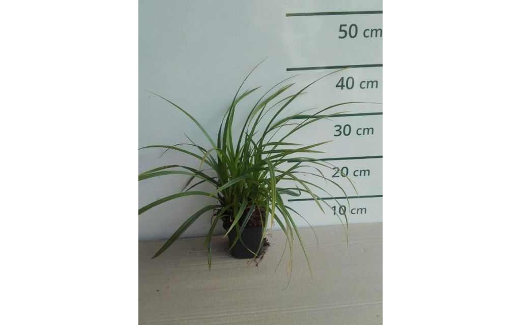 Zegge - Carex foliosissima Irish Green