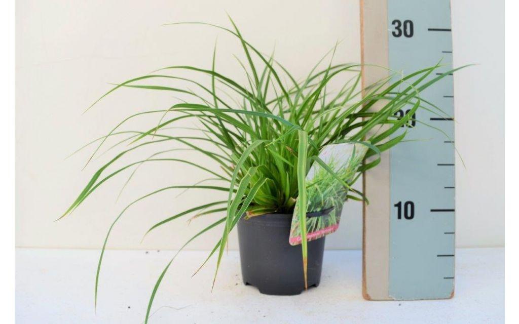 Zegge - Carex morrowii  variegata