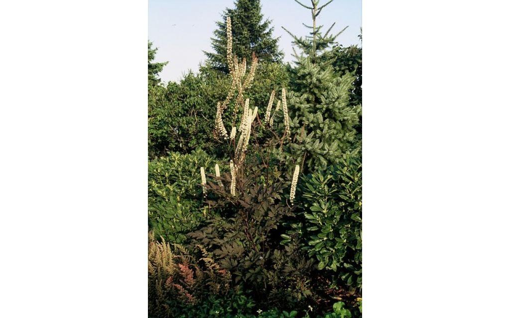 "Cimicifuga ramosa ""Atropurpurea"" - Zilverkaars"