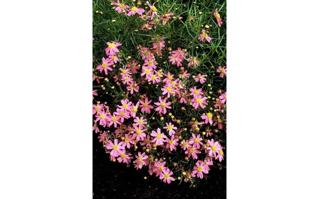 Meisjesogen - Coreopsis rosea American Dream