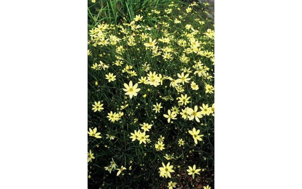 Meisjesogen - Coreopsis verticillata