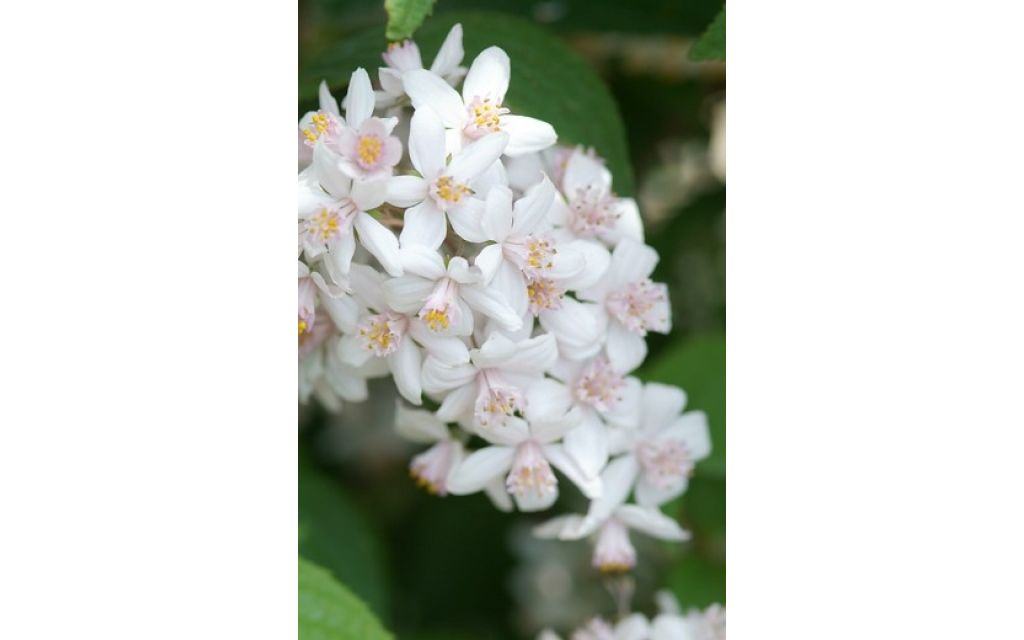 Bruidsbloem - Deutzia x hybrida Mont Rose