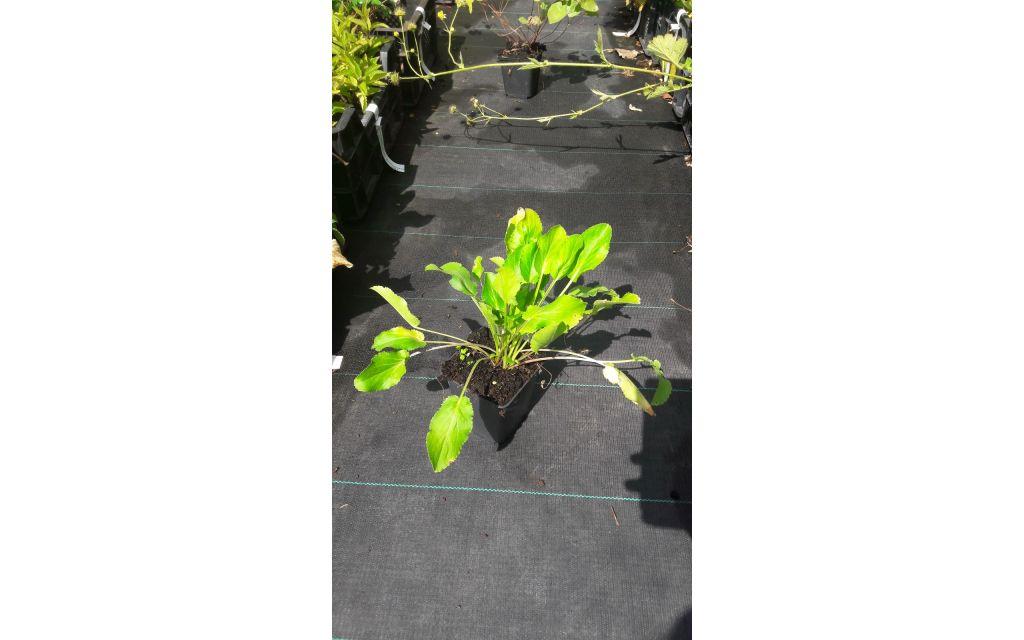 Kogeldistel - Echinops bannaticus Albus