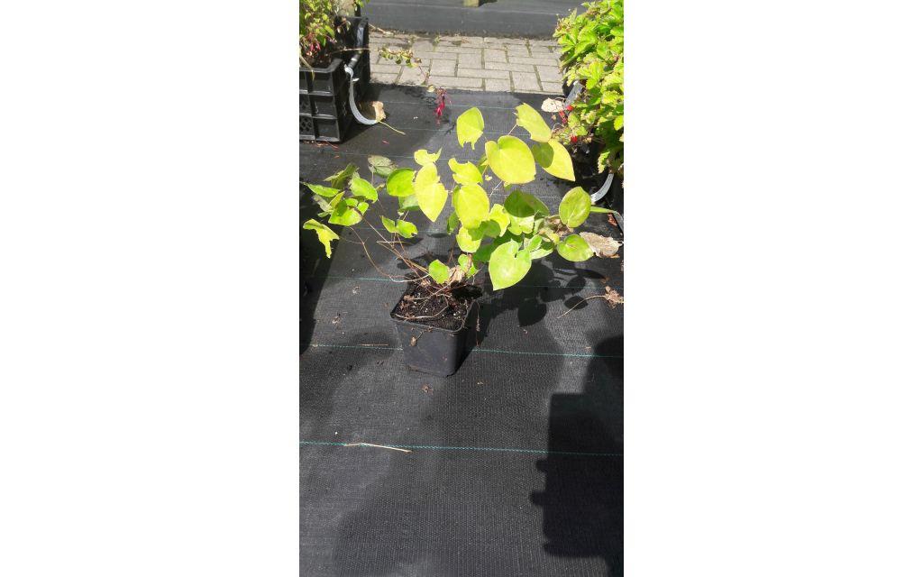 Elfenbloem - Epimedium rubrum