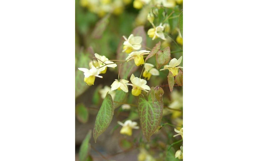 Elfenbloem - Epimedium perralchicum Frohnleiten