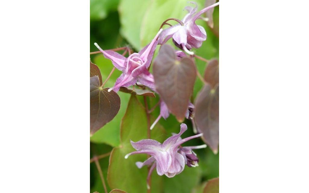 Elfenbloem - Epimedium grandiflorum Lilafee