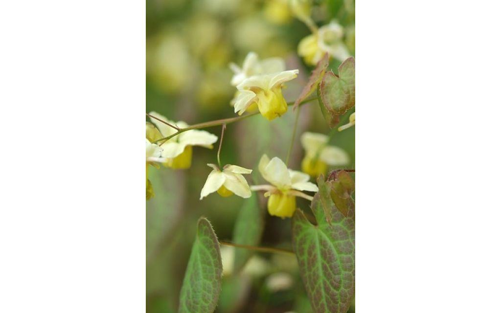 Elfenbloem - Epimedium versicolor Sulphureum