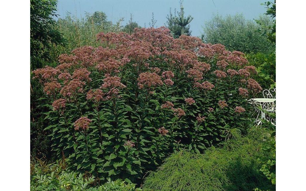 Leverkruid - Eupatorium purpureum