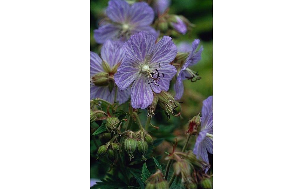 Ooievaarsbek - Geranium pratense Mrs Kendall Clark