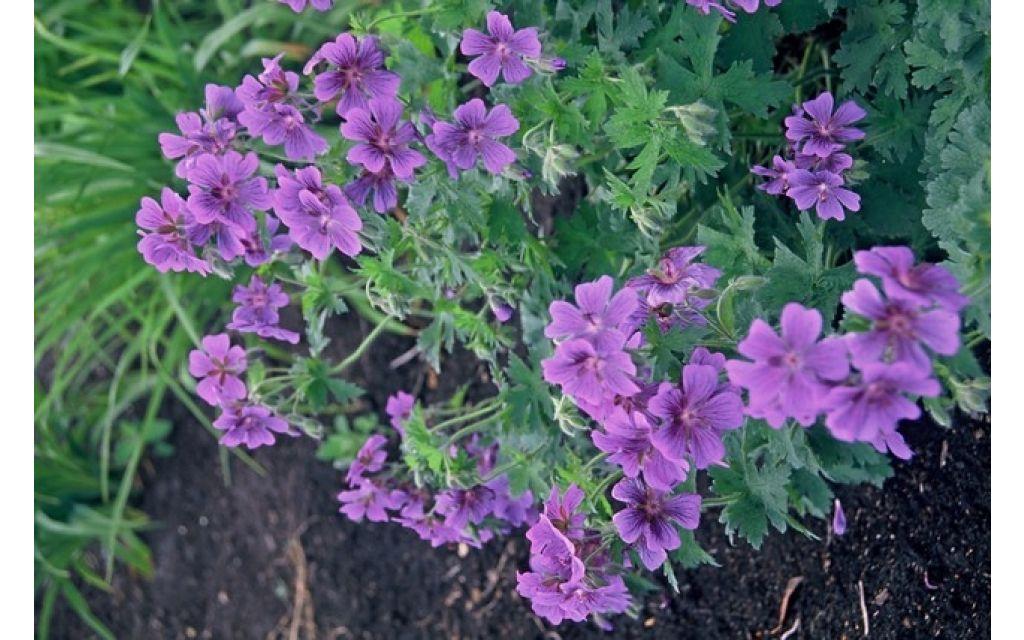 Ooievaarsbek - Geranium magnificum