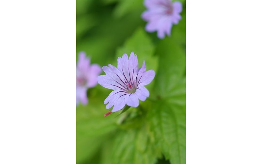 Ooievaarsbek - Geranium nodosum