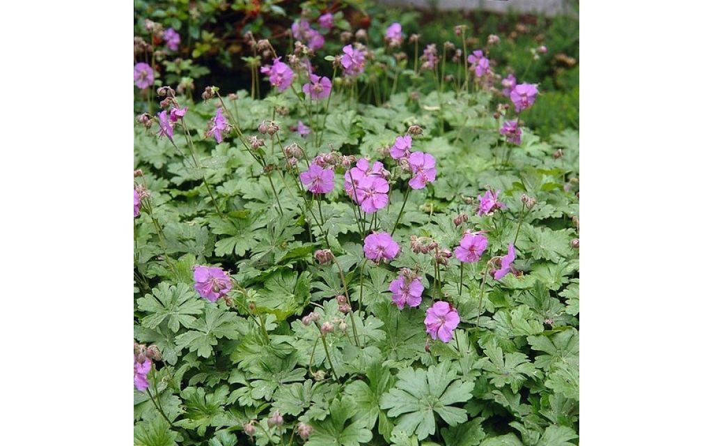 Ooievaarsbek - Geranium riversleaianum Mavis Simpson