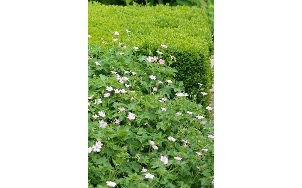 Ooievaarsbek - Geranium oxonianum Rose Clair