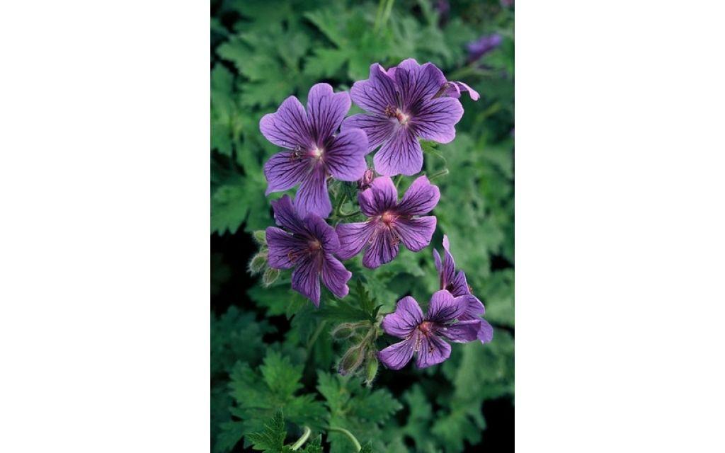 Ooievaarsbek - Geranium magnificum Rosemoor