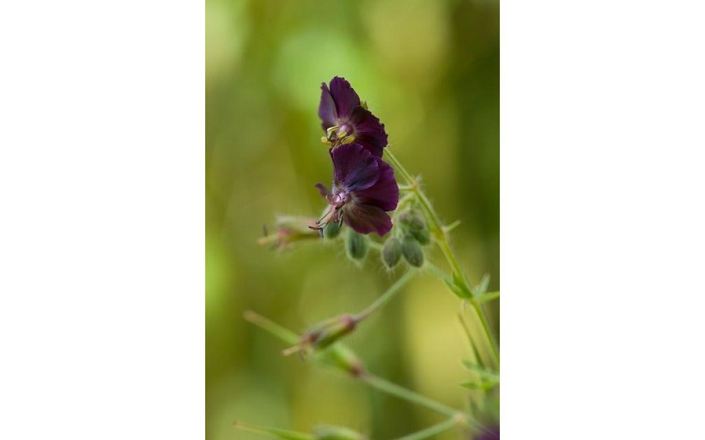 Ooievaarsbek - Geranium phaeum Samobor