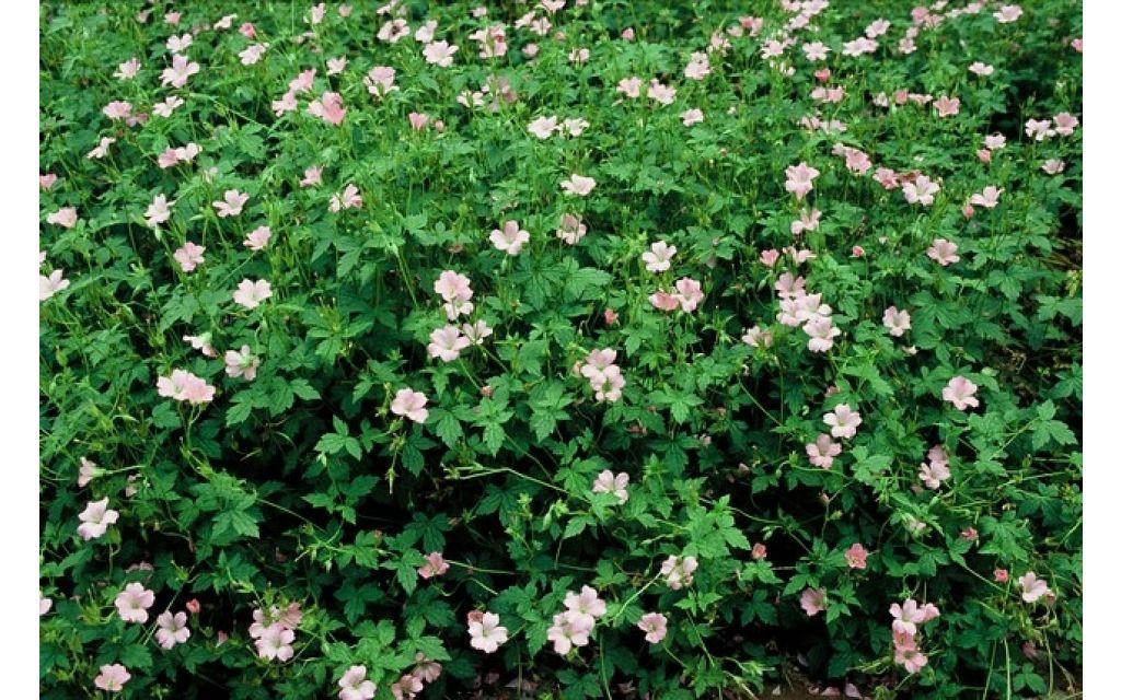 Ooievaarsbek - Geranium endressii Wargrave Pink