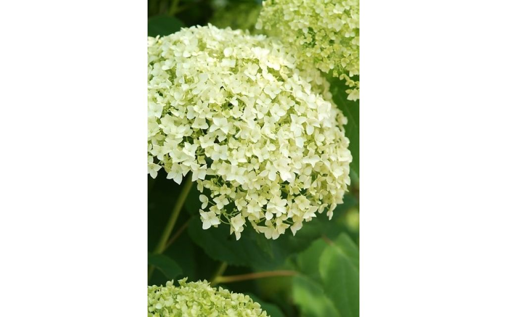 hydrangea arb incrediball strong annabelle hortensia. Black Bedroom Furniture Sets. Home Design Ideas