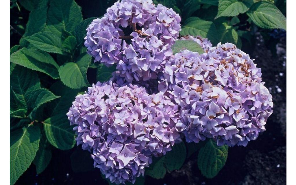 Hydrangea macrophylla Nikko bleu - Blauwe bolhortensia