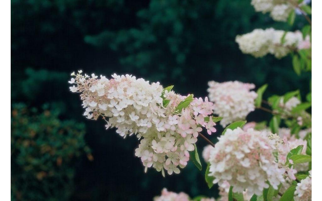 Pluimhortensia - Hydrangea paniculata Grandiflora