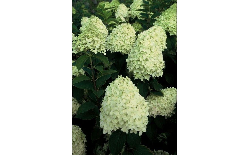 Hydrangea paniculata 'Limelight'®- Pluimhortensia