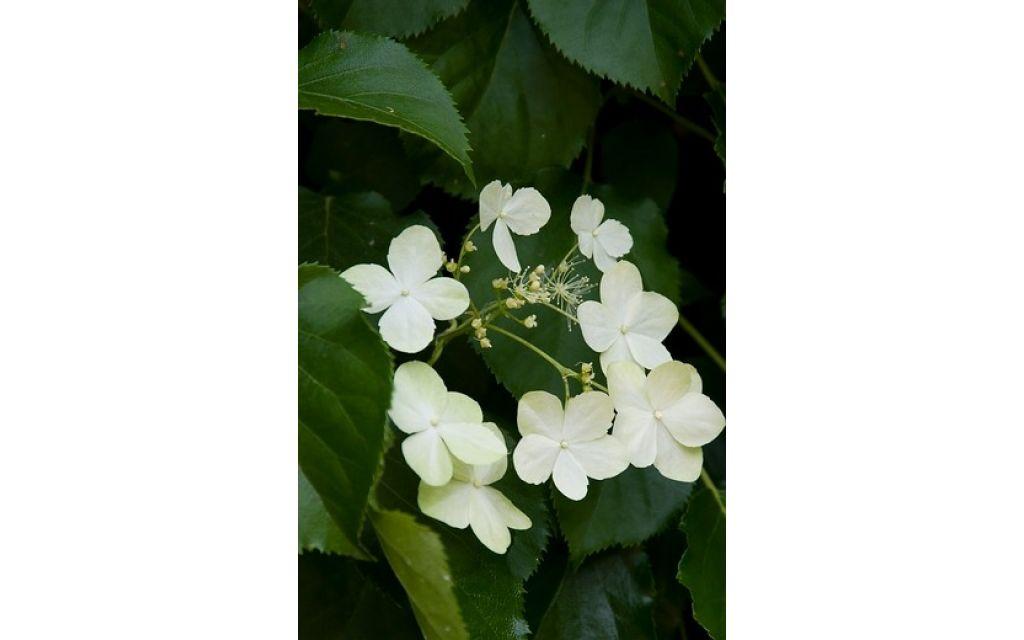Hydrangea anomala petiolaris - Klimhortensia