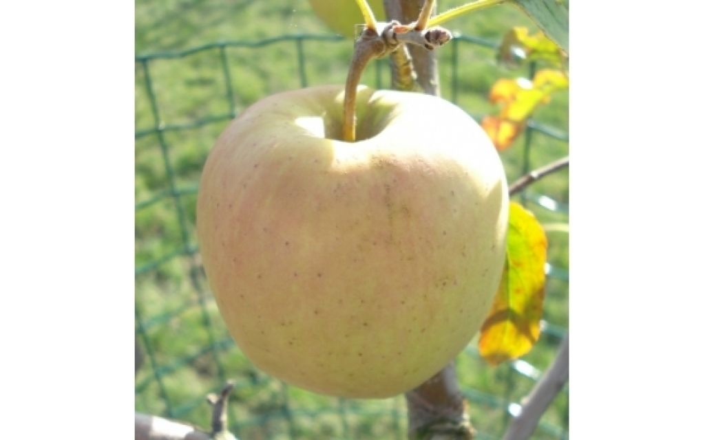 malus d golden delicious