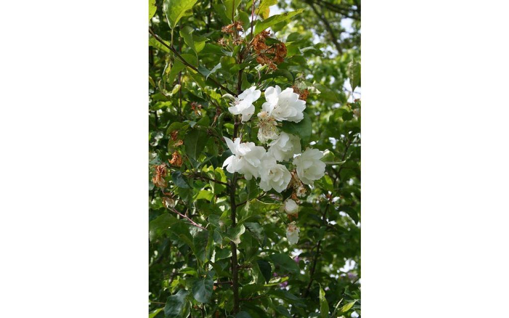 Wilde appel - Malus sylvestris
