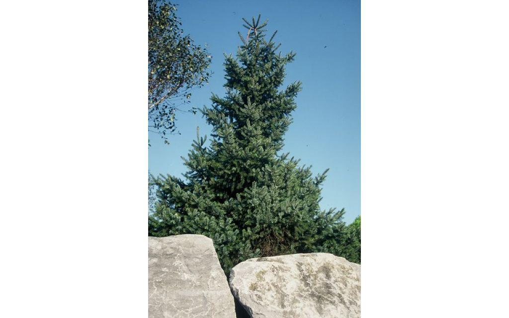 Servische spar - Picea Omorika