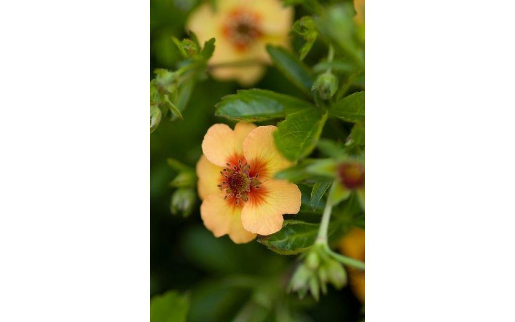 Ganzerik - Potentilla fruticosa Hopley's Orange