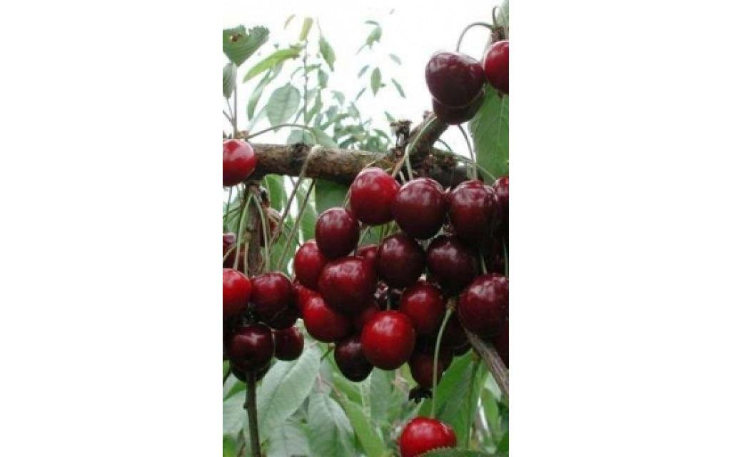 Prunus a Van - Zoete kers