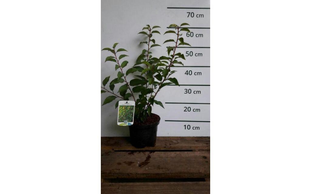 Prunus lusitanica Angustifolia  - Portugese laurier