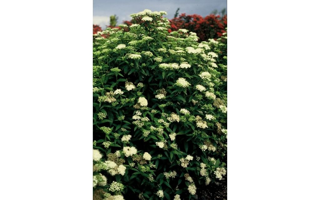 Spierstruik - Spiraea japonica Albiflora
